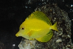 Lemon sailfin, Yellow sailfin tang (Zebrasoma flavescens)